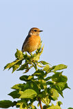 Portrait of an european stonechat Royalty Free Stock Images