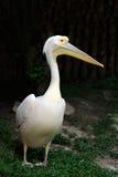 Portrait of a European white pelican Stock Photo