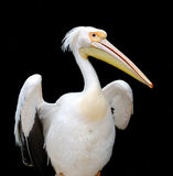 Portrait of a European white pelican Stock Image