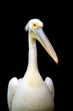 Portrait of a European white pelican Royalty Free Stock Images