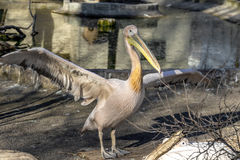 Portrait of a European white pelican , Pelecanus onocrotalus. Ex Stock Images