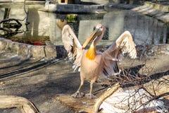Portrait of a European white pelican , Pelecanus onocrotalus. Ex Royalty Free Stock Images