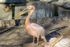 Portrait of a European white pelican , Pelecanus onocrotalus. Ex Royalty Free Stock Image