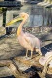 Portrait of a European white pelican , Pelecanus onocrotalus. Ex Stock Photos