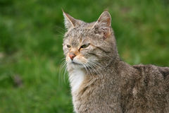 Portrait of a european wildcat Stock Image
