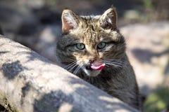Portrait European wildcat, Felis silvestris, with tongue. One portrait European wildcat, Felis silvestris, with tongue Stock Photography