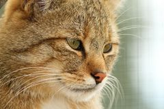 Portrait of european wildcat Royalty Free Stock Photos