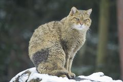 European wildcat Royalty Free Stock Photos