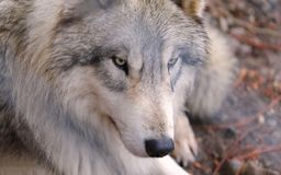 Portrait of European Wolf 2018 stock images