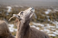 Portrait of an ewe female bighorn sheep sitting in a meadow in the wild, looking up at the sun royalty free stock image