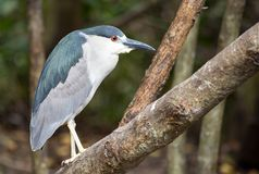 Portrait of an exotic black-crowned night heron stock photography