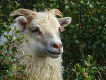 A portrait of an expressive sheep grazing in iceland royalty free stock image