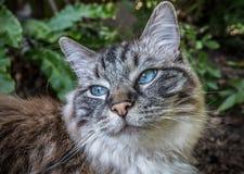 Portrait extérieur de chat de pure race de Ragdoll Images libres de droits