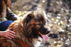 Portrait extérieur extérieur caucasien de chien de berger Photo stock