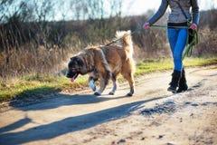 Portrait extérieur extérieur caucasien de chien de berger Photos libres de droits