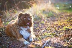 Portrait extérieur extérieur caucasien de chien de berger Images stock