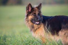Portrait extérieur aux cheveux longs de chien de berger allemand Photos stock