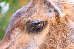 Portrait of a eye from beautiful giraffe Stock Images