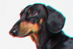 Portrait of face of a dachshund dogs, black and tan, looking forward into camera, isolated on gray background. Digital signal glit. Ch effect rgb shift, slices royalty free stock image