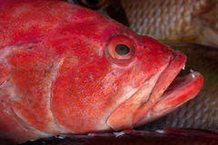 Portrait face large sea fish redsnepper, thick red lips, open mouth, on the background of the scales of other fish. Stock Photography
