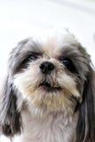 Portrait of face shih tzu dog. stock image