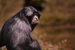 Portrait face  of siamang gibbon  against blur background. Portrait face  of   siamang gibbon  against blur background Royalty Free Stock Images