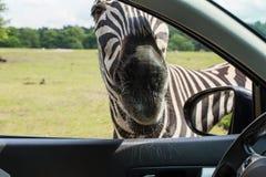 Portrait faces Zebra Royalty Free Stock Images