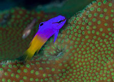 Portrait of Fairy Basslet Royalty Free Stock Photos
