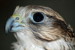 Portrait of falcon Stock Photography