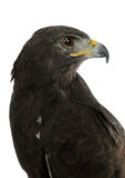 Portrait of falcon Royalty Free Stock Image