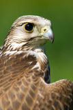 Portrait of an falcon Royalty Free Stock Image