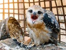 Portrait of falcon bird Royalty Free Stock Photography