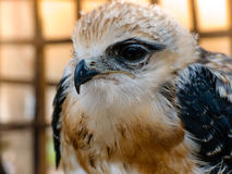 Portrait of falcon bird Royalty Free Stock Image