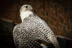 Portrait of Falcon. Birds of prey. Close-up and detail of falcon (Falco royalty free stock photos