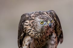 Falcon with a bloody beak after a meal. Bird of prey. Portrait of Falcon with a bloody beak. Bird of prey stock images