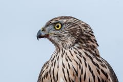 Falcon with a bloody beak after a meal. Bird of prey. Portrait of Falcon with a bloody beak. Bird of prey stock photos