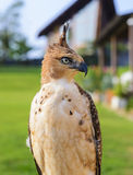 Portrait of a falcon Stock Photo