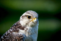 Portrait of the falcon Stock Image