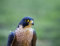 Portrait of the falcon Royalty Free Stock Photos