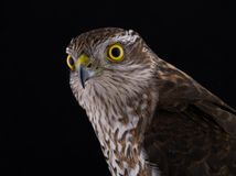 Portrait falcon isolated on a black. Background Royalty Free Stock Photo