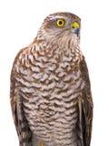 Portrait falcon Stock Photos