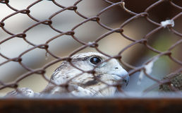 Portrait of a falcon, locked up the zoo Royalty Free Stock Image