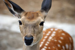 Portrait of fallow deer Stock Photo