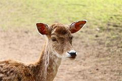 Portrait of fallow deer Cervidae stock photography