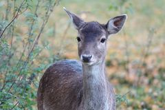 Female fallow deer in autumn in the Netherlands