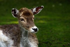 Fallow Deer Dama, Dama. Portrait of fallow deer dama, dama in the forest. Phtography of wildlife stock photo