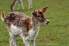 Fallow deer dama. Portrait of fallow deer dama, dama on the green field. Phtography of wildlife royalty free stock photo