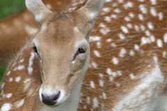Portrait of a Fallow Deer (Dama dama) Royalty Free Stock Photography