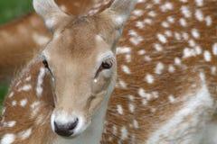 Portrait of a Fallow Deer (Dama dama) royalty free stock photography