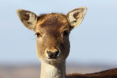 Portrait of fallow deer hind Royalty Free Stock Image